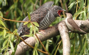 cuckoo parasite